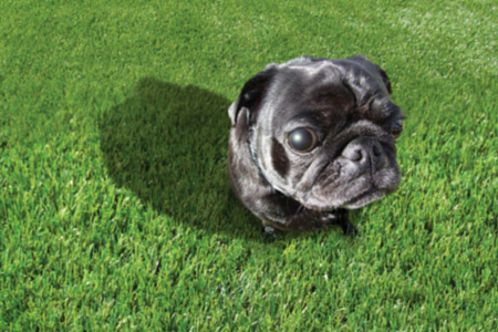 artificial grass with a pug