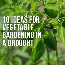 10 Ideas For Vegetable Gardening In A Drought  http://www.heavenlygreens.com/blog/10-ideas-for-vegetable-gardening-in-a-drought @heavenlyreens