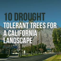 10 Drought Tolerant Trees For A California Landscape http://www.heavenlygreens.com/blog/10-drought-tolerant-trees-for-a-california-landscape @heavenlygreens