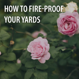 rose bushes are one of many fire-resistant plants for your yard