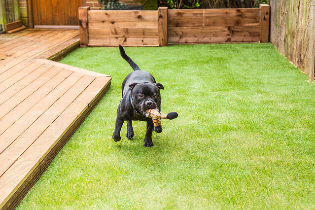 dog playing to pet friendly lawn  artificial turf